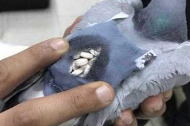 Photo of کویت میں منشیات کا اسمگلر کبوتر گرفتار