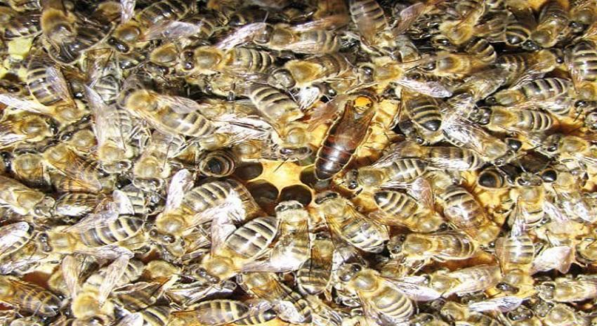 Photo of بارودی سرنگوں کو ڈھونڈنے والی تربیت یافتہ شہد کی مکھیاں