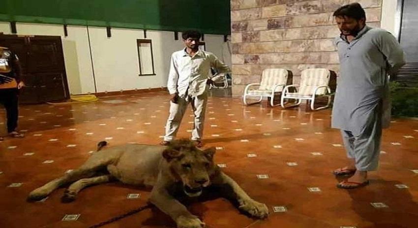 Photo of گھر میں شیر پالنے پر شاہد آفریدی کے خلاف تحقیقات شروع