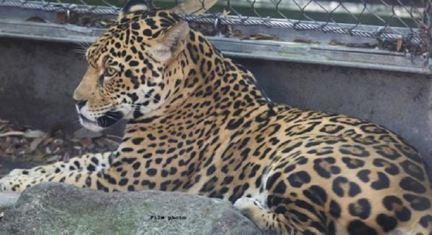 Photo of امریکا، چیتے نے چڑیا گھر میں  پنجرے سے نکل کر 6 جانور مار ڈالے