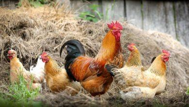Photo of پاکستان: مرغیاں غربت کم کرسکتی ہیں؟