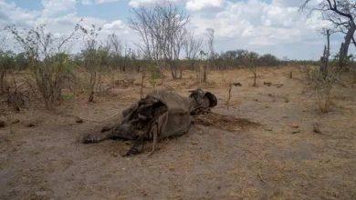 زمبابوے میں تباہ کن خشک سالی، سیکڑوں ہاتھی بھی ہلاک