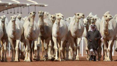 Photo of اونٹ کے علاج کے لیے سعودی عرب میں اسپتال کی تعمیر