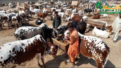 Photo of مویشی منڈی کے اوقات میں اضافہ