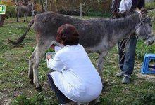 Photo of گدھی کا دودھ  کورونا وائرس کے خلاف مؤثر ہے