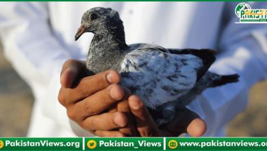 Photo of پاکستانی کبوتر گرفتار، بی ایس ایف کا 'ملزم' کیخلاف مقدمہ درج کرنے کا مطالبہ