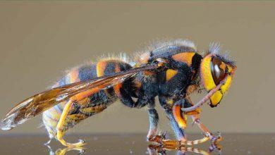 Photo of شہد کی مکھیوں کے ذریعے کووڈ 19 کی تشخیص میں کامیابی حاصل