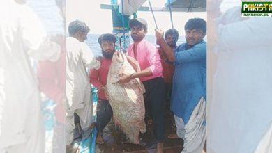 Photo of جیوانی کے ساحل سے پکڑی گئی مچھلی 72 لاکھ روپے میں فروخت