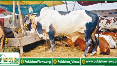 Photo of سپرہائی وے پر ایشیا کی سب سے بڑی مویشی منڈی کب لگے گی؟