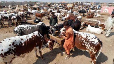 Photo of جانوروں کی بڑی کھیپ ایشیا کی سب سے بڑی مویشی منڈی پہنچ گئی