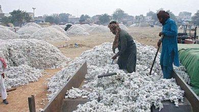 Photo of روئی کی قیمت میں ریکارڈ اضافہ